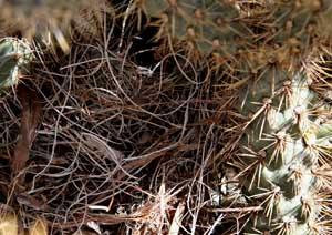Cactus Wren Nest - Yucca fibers in Cholla
