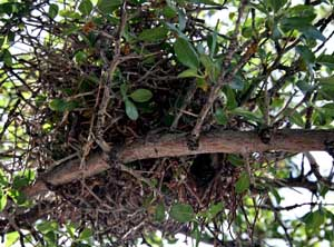 Verdin Nest in Wild Plum