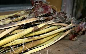 Yucca leaves with fibers
