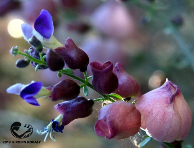 Paperbag Bush_flowers_RK