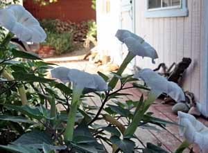Datura Native Plant