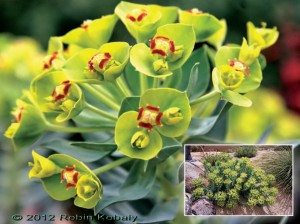 Plant of the Month for February 2012: The Gopher Plant