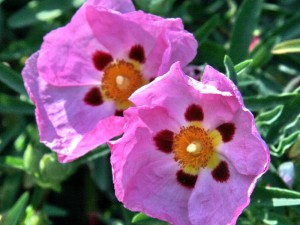 Purple Rock Rose Blossoms