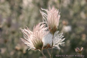 Close-up of Apache Plume with Seeds