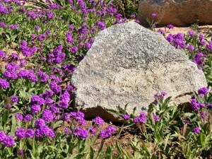 Sandpaper Verbena—Showy Groundcover