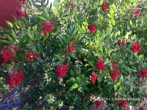 Christmas Berry or Toyon