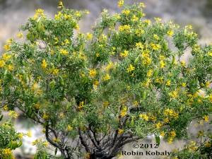 Bladderpod Shrub Peritoma Arborea