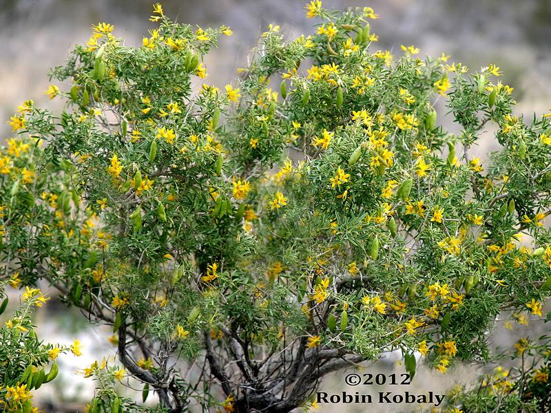 Bladderpod Shrub Peritoma Arborea The Power Of Plants