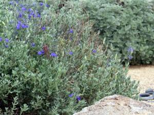 Mexican Blue Sage, a.k.a. Electric Blue Sage