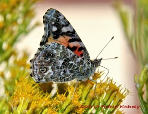 Butterfly sips nectar from Rabbitbrush