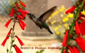 Hummingbird sips nectar from Eaton's Firecracker