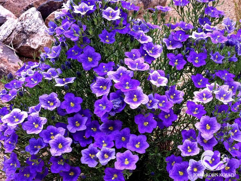 нирембергия фото цветы самое как европейцев