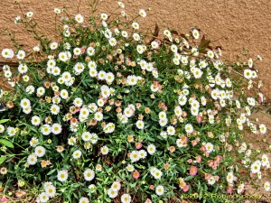 This cheerful mounded daisy shows flowers from pink to white as they age.