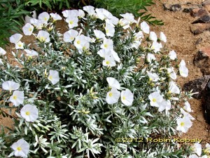 Silver Bush Morning Glory dazzles in all seasons with both showy flowers and silvery foliage.