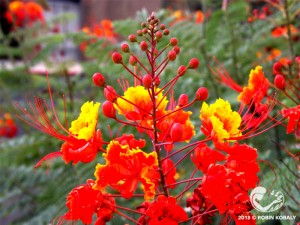 A true showstopper when in bloom, Red Bird of Paradise stands up to heat and attracts orioles, hummingbirds, and butterflies.