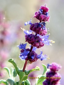 Desert Sage's late winter and spring whorls of blue flowers attract hummingbirds.