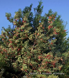 Hollyleaf Cherry - native evergreen shrub or small tree makes a great privacy screen.