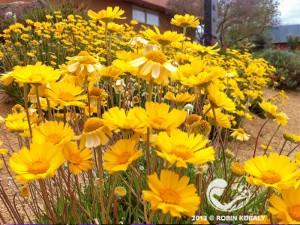 Angelita Daisy is a star-performing, long-blooming, drought-tolerant addition to western gardens.