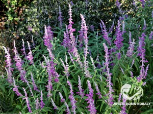 Velvet Sage lends beautiful color to fall and early winter gardens -- attracting hummingbirds and human admirers.