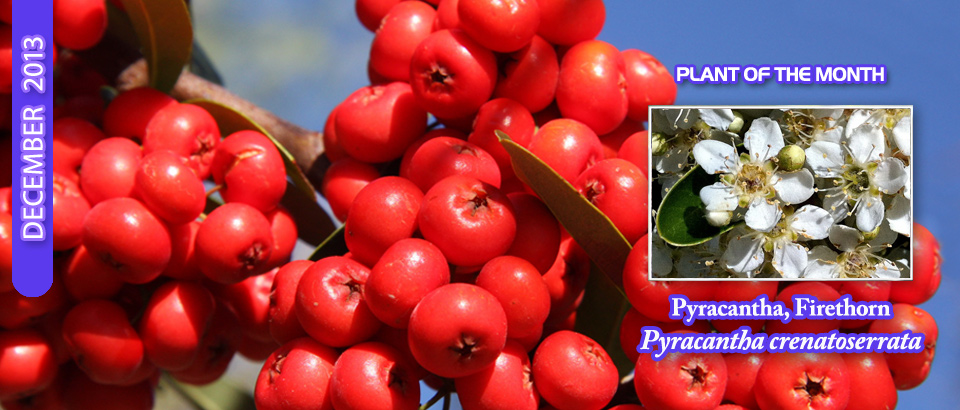 pop-feature-slider-DecPOM-pyracantha