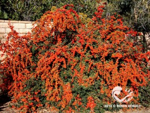 This fast-growing, drought tolerant, evergreen shrub keeps giving all year, with bountiful clusters of white flowers in spring to colorful bunches of winter berries in time for holiday decorations--and hungry songbirds.