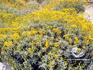 Brittlebush explodes with color from winter through spring, and after rain, attracting butterflies with its nectar, and later, songbirds with its seeds. Gardeners love iBrittlebush's silvery leaves the rest of the year.
