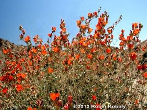 For nearly year-round flower color, consider planting Desert Mallow in borders, massed for brilliant color, or as a specimen plant.