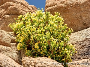 Bush Monkeyflower is beautiful in all of its various flower colors, including yellow, orange, coral, and red.