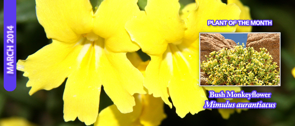 pop-feature-slider-Bush-Monkeyflower