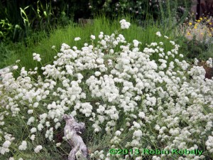 Profuse balls of white to pink flowers fill the spaces in your garden as baby's breath does in a bouquet.