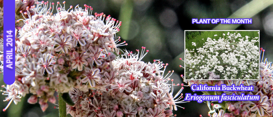 pop-feature-slider-Calif-Buckwheat
