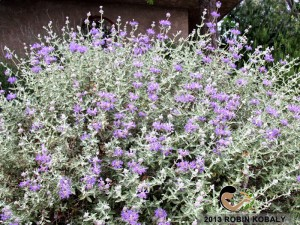 A favorite southwest garden pick, both for its captivating fragrance and its stunning flower display.