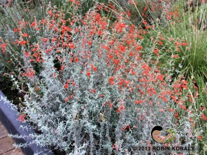 This fall-blooming southwest native provides critical nectar for migrating hummingbirds, and brilliant color for  gardeners after most others flowers are done.