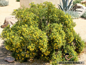Creosote may be among the least appreciated but valuable landscape plants in the Southwest. As perhaps the most drought-tolerant plant in North America, it will thrive in your yard with just occassional water, producing flowers most of the year.