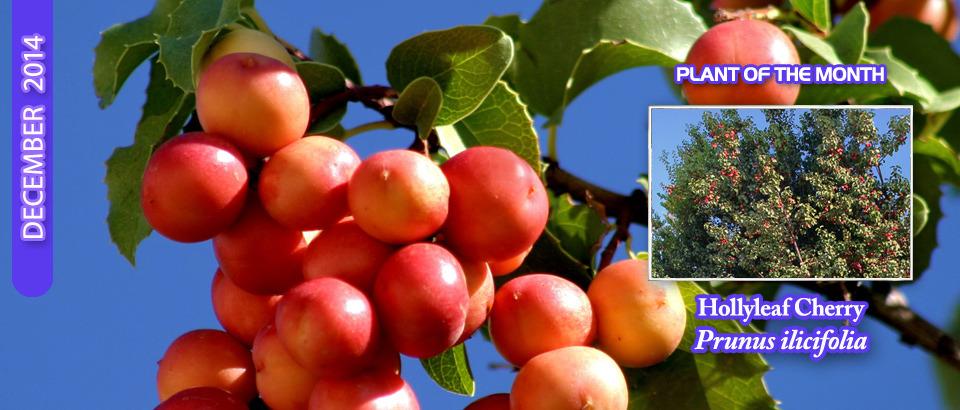 Hollyleaf-Cherry-pop-feature-slider-