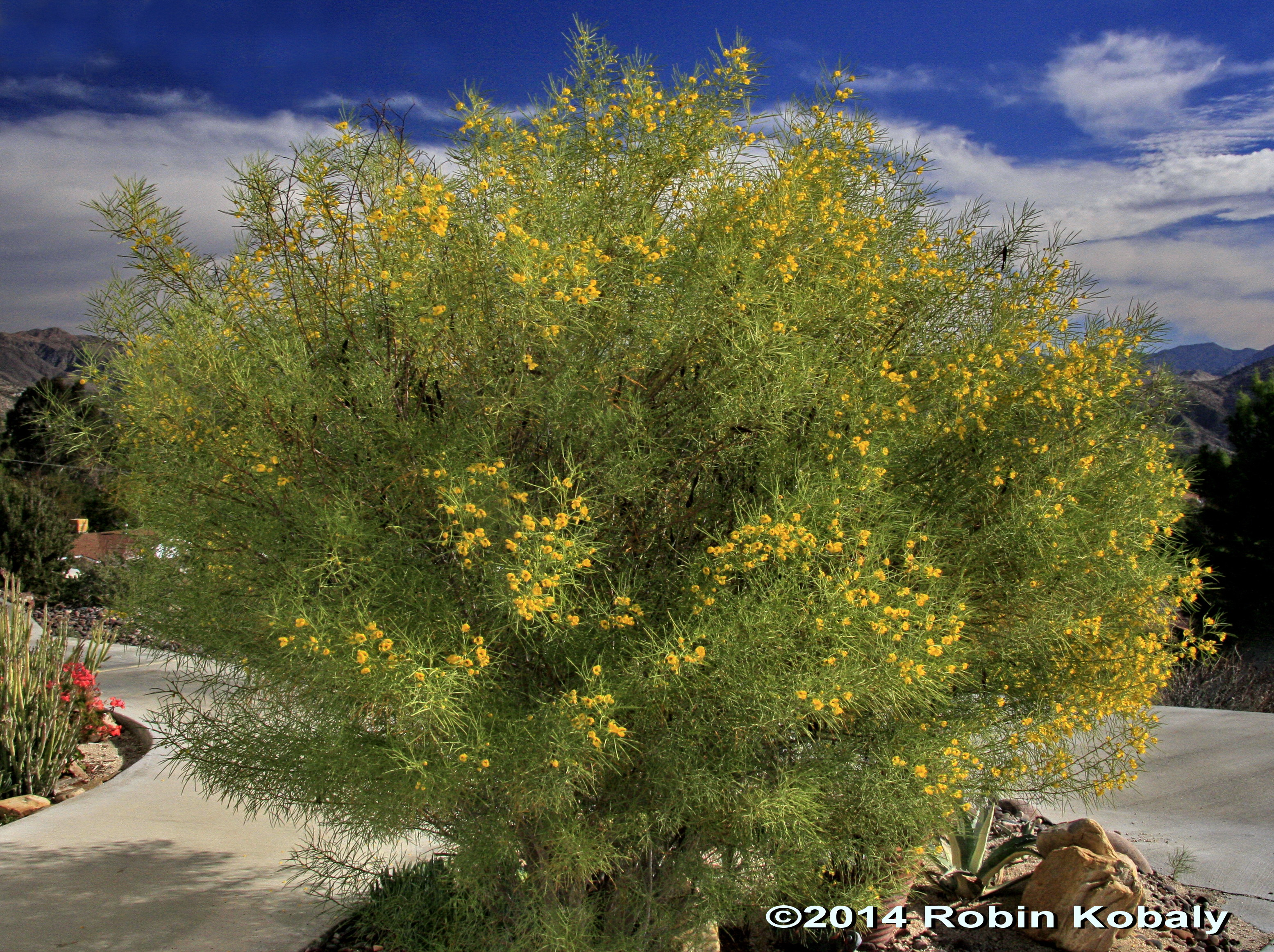 Plant of the month january the power of plants feathery desert cassia masses of yellow flowers mightylinksfo