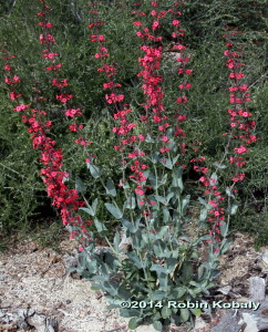This truly superb penstemon will catch the eye of hummingbirds, spinx moths, bees, you and all your visitors.