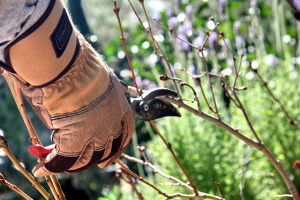Prune the rest of your summer-blooming deciduous fruit & nut trees, roses, and dormant shrubs
