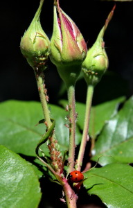 Check aphids on new growth; wash off with strong jet of water -- or bring in ladybugs to help out!