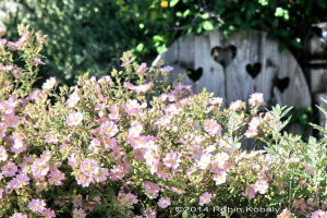 This sturdy favorite of cottage gardens offers a blanket of pink flowers in spring, cheering up any sunny space it fills.