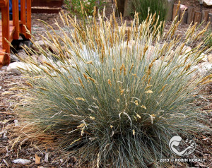 Blue Fescue's mounded, bluish clumps work great in containers, rock gardens, massed in borders, or paired with succulents.