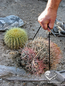 An easy way to move cactus during planting is to use micro-tube hose for smaller plants or a section of old garden hose for larger cacti.