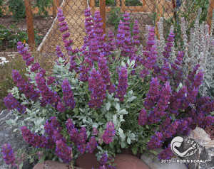 Gardeners love everything about this beautiful, aromatic sage endemic to southern California, from its show-stopping flowers to its aromatic foliage; hummingbirds and butterflies can't resist it either.