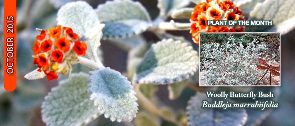 Woolly-Butterfly-Bush_pop-feature-slider