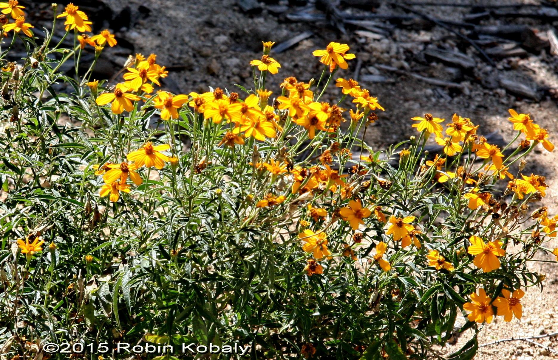 Aromatic Flower Daisy Family Flowers Healthy