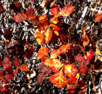 Fall color on California native shrub, Basketbush Sumac
