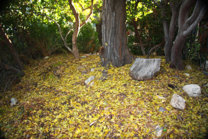 Both evergreen and deciduous plants benefit from a cover of fallen leaves blanketing the ground.