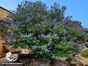 Chaste Tree offers abundant, fragrant lavender flowers in summer, and a magnet for butterflies, bees, and birds.