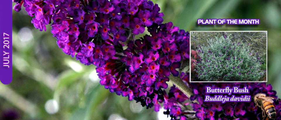 Butterfly-Bush-pop-feature-slider