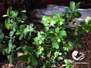 Coffeeberry-plant-0723-RK